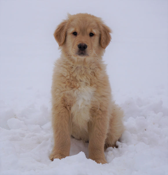 AKC Registered Golden Retriever For Sale Fredericksburg, OH Male- Samson