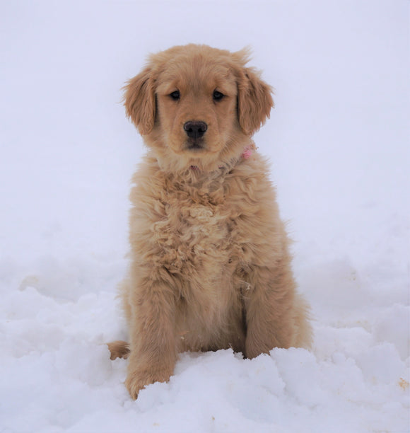AKC Registered Golden Retriever For Sale Fredericksburg, OH Female- Dolly