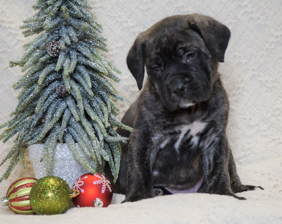AKC Registered English Mastiff For Sale Baltic, OH Male - Kane