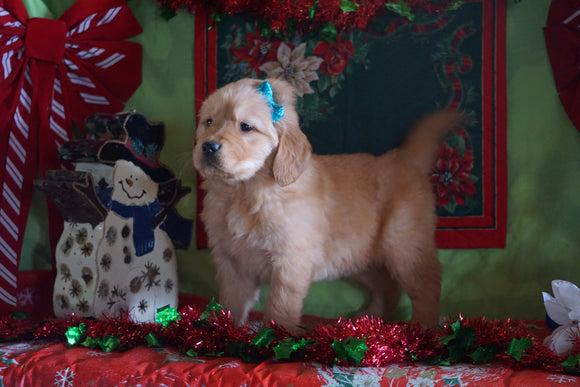 AKC Registered Golden Retriever For Sale Sugarcreek, OH Male- Bingo