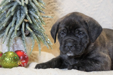 AKC Registered English Mastiff For Sale Baltic, OH Female - Maxine