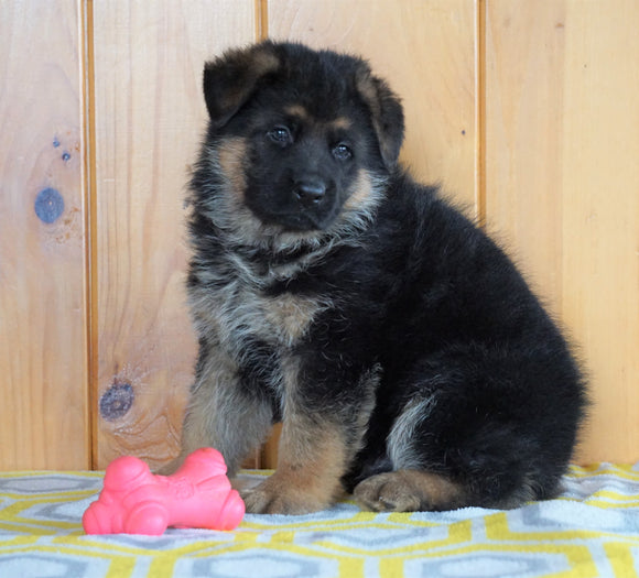 AKC Registered German Shepherd For Sale Millersburg, OH Male - Zeigal
