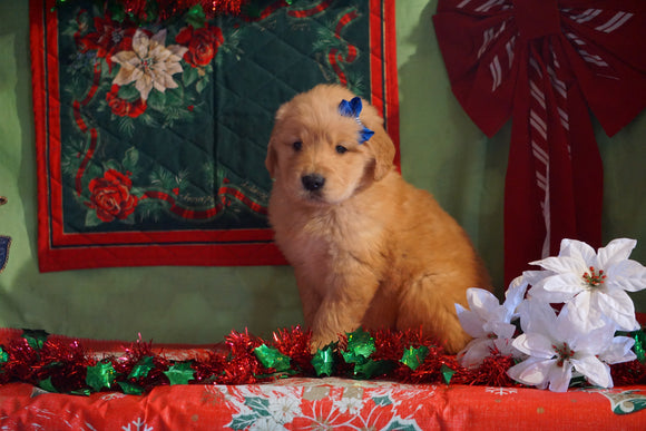 AKC Registered Golden Retriever For Sale Sugarcreek, OH Male- Hank