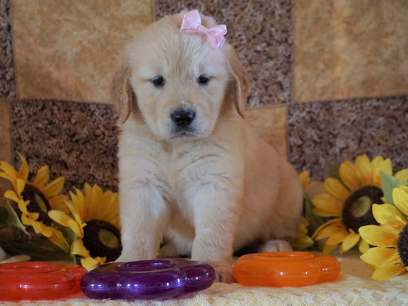 AKC Registered Golden Retriever For Sale Sugarcreek, OH Female- Callie