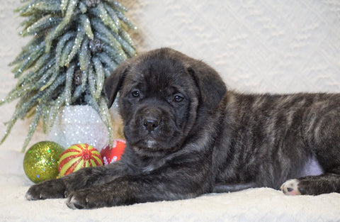 AKC Registered English Mastiff For Sale Baltic, OH Female - Abby