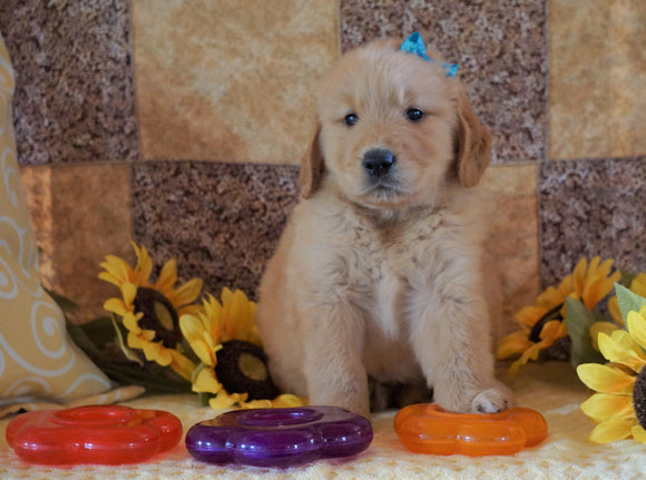 AKC Registered Golden Retriever For Sale Sugarcreek, OH Male- Sam