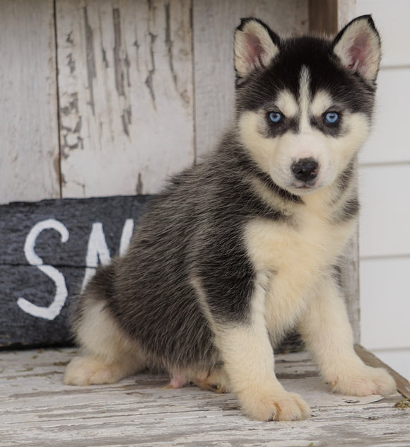 CKC Registered Siberian Husky For Sale Millersburg, OH Male - Buster
