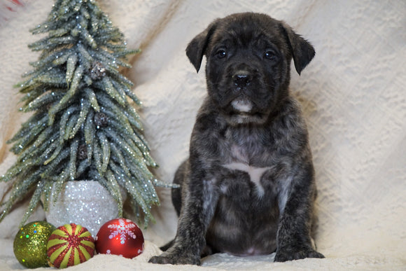 AKC Registered English Mastiff For Sale Baltic, OH Male - Tyson