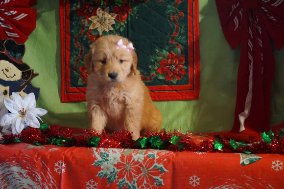 AKC Registered Golden Retriever For Sale Sugarcreek, OH Female- Carma