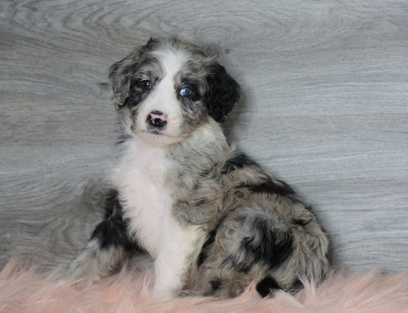 Aussiedoodle (Standard) For Sale Baltic, OH Female- Annie