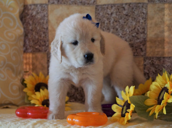 AKC Registered Golden Retriever For Sale Sugarcreek, OH Male- Mike