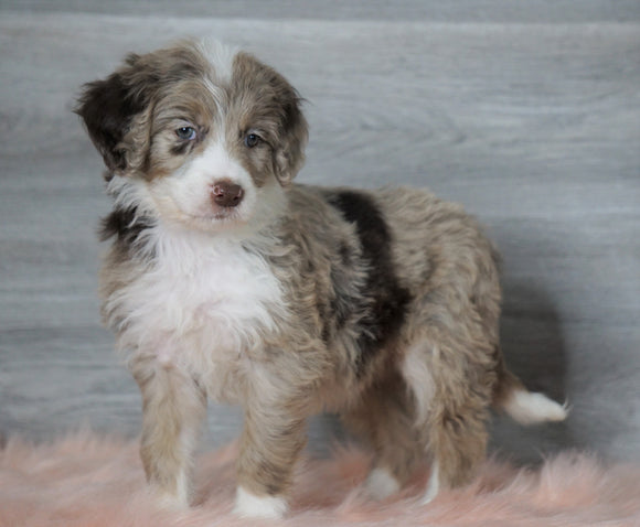 Aussiedoodle (Standard) For Sale Baltic, OH Female- Skye