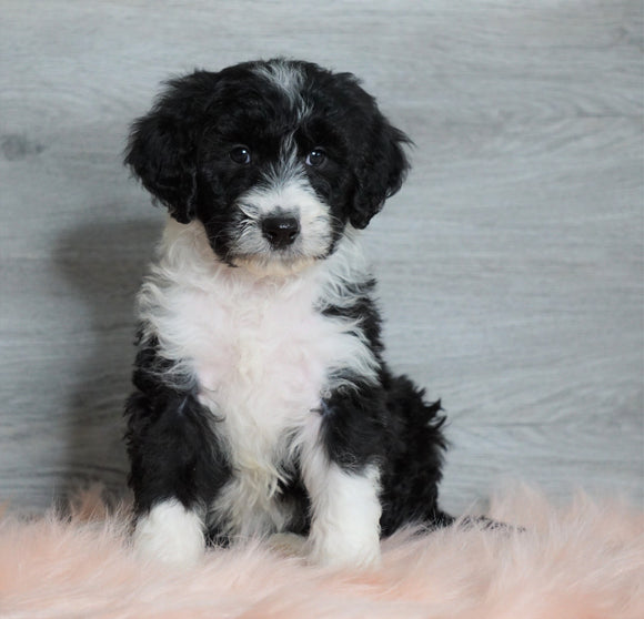 Aussiedoodle (Standard) For Sale Baltic, OH Female- Milla