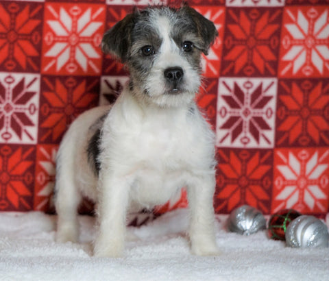 Poodle Mix Puppy For Sale Fredericksburg, OH Female- Zofia