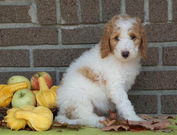 F1B Labradoodle For Sale Millersburg, OH Female- Tina