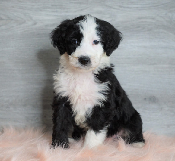 Aussiedoodle (Standard) For Sale Baltic, OH Male- Bruno