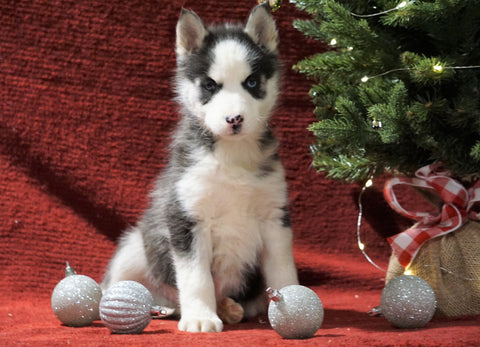 Siberian Husky For Sale Holmesville, OH Male - Winter