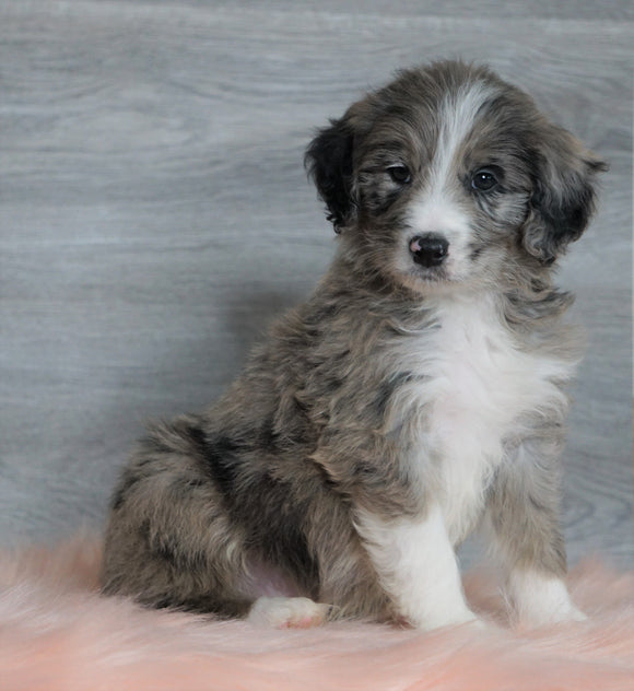 Aussiedoodle (Standard) For Sale Baltic, OH Male- Chief