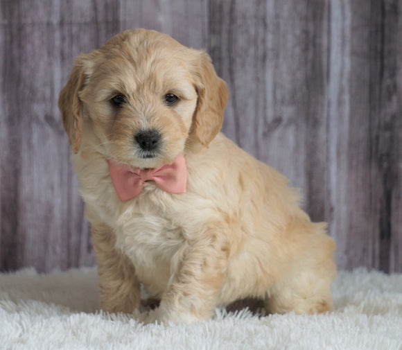 Mini Goldendoodle For Sale Sugarcreek, OH Female- Chloe