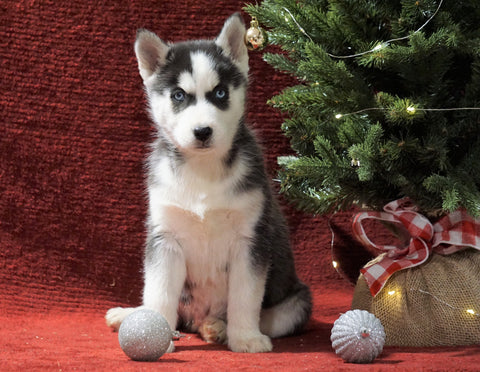 Siberian Husky For Sale Holmesville, OH Male - Timber