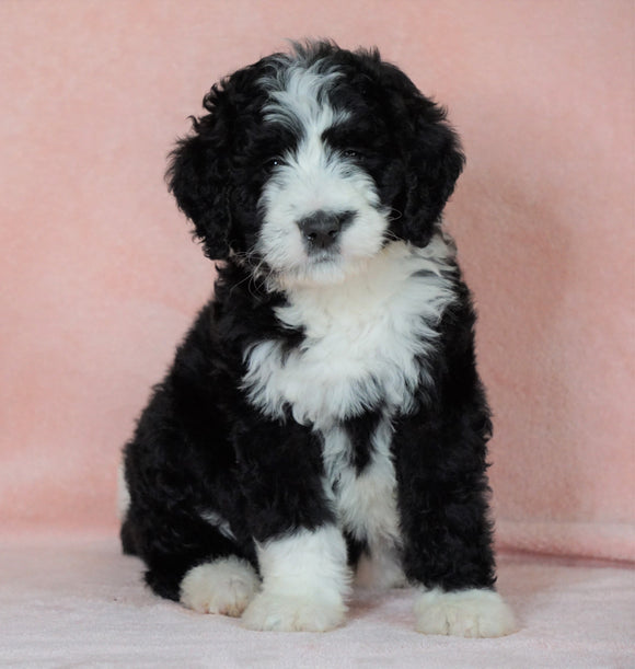 Standard Bernedoodle For Sale Baltic OH Female - Twilight