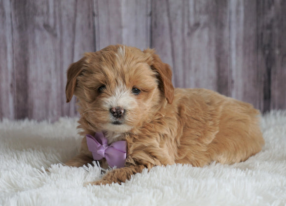 Mini Goldendoodle For Sale Sugarcreek, OH Female- Bella