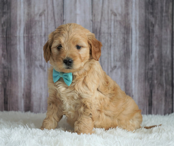 Mini Goldendoodle For Sale Sugarcreek, OH Female- Lola