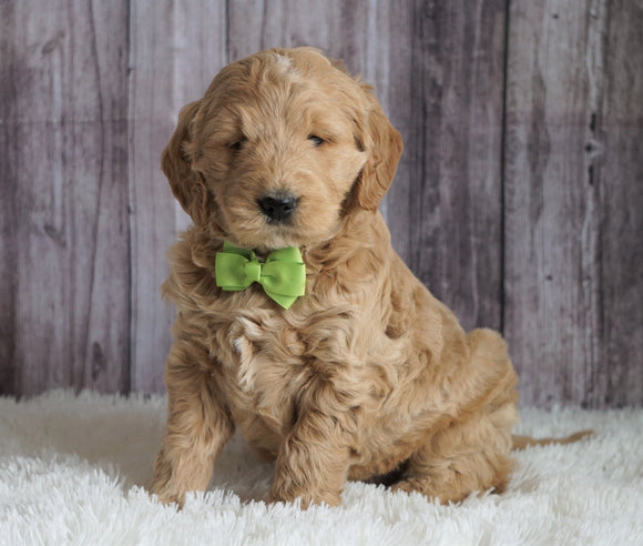 Mini Goldendoodle For Sale Sugarcreek, OH Male- Chase