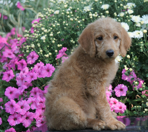F1B Labradoodle For Sale Millersburg, OH Female- Tulip