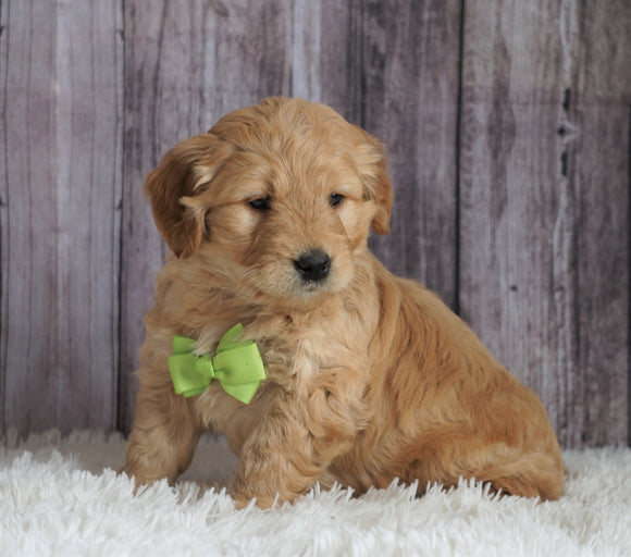 Mini Goldendoodle For Sale Sugarcreek, OH Male- Marshall