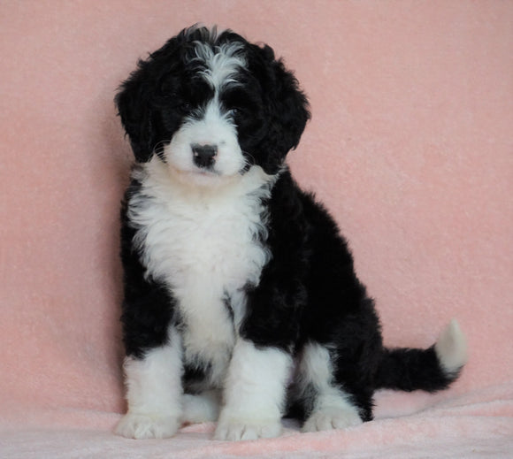 Standard Bernedoodle For Sale Baltic OH Female - Bailey