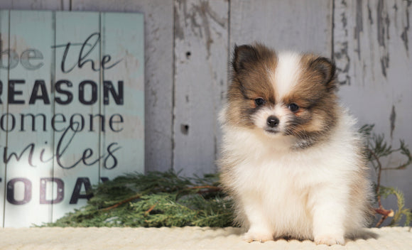 ACA Registered Pomeranian For Sale Millersburg, OH Female- Rosie