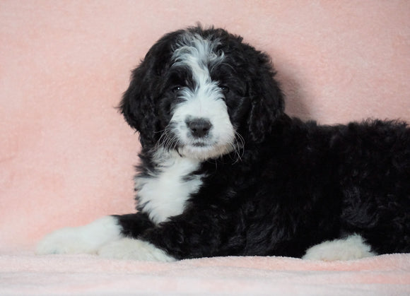Standard Bernedoodle For Sale Baltic OH Female - Heidi
