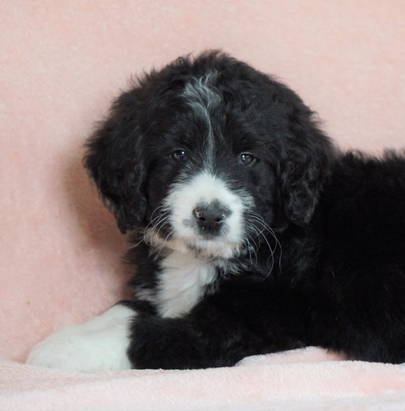 Standard Bernedoodle For Sale Baltic OH Male - Midnight