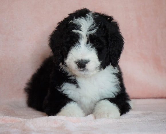 Standard Bernedoodle For Sale Baltic OH Male - Danny