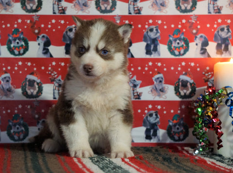 Siberian Husky For Sale Fredericksburg, OH Male - Dakota