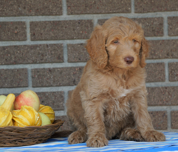 F1B Labradoodle For Sale Millersburg, OH Male- Teddy