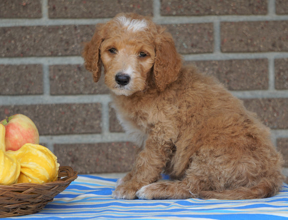 F1B Labradoodle For Sale Millersburg, OH Male- Tippy