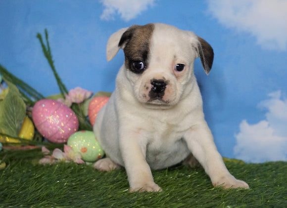 English Bulldog/Puggle For Sale Sugarcreek, OH Female - Carrie