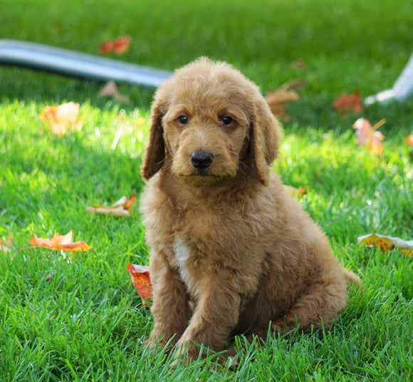 F1B Labradoodle For Sale Millersburg, OH Male- Tyler