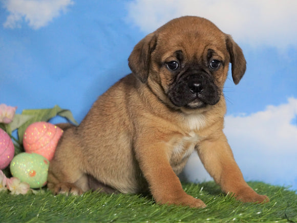 English Bulldog/Puggle For Sale Sugarcreek, OH Female - Allie