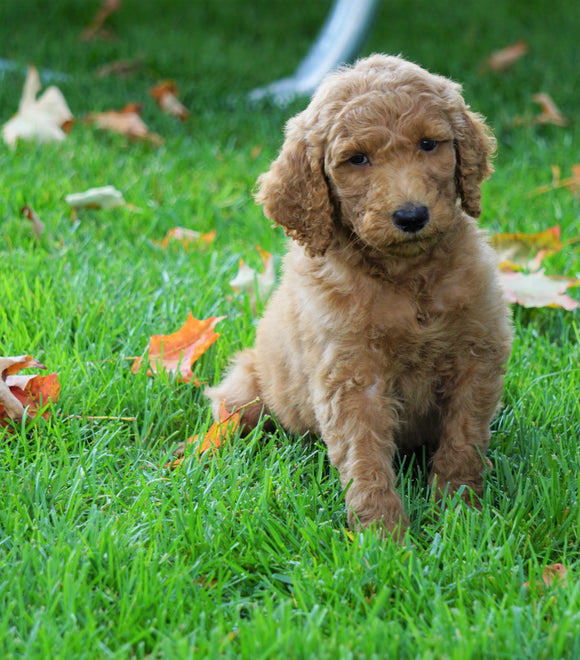 F1B Labradoodle For Sale Millersburg, OH Male- Tony