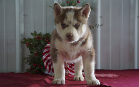 AKC Registered Siberian Husky For Sale Millersburg, OH Male- Lucky