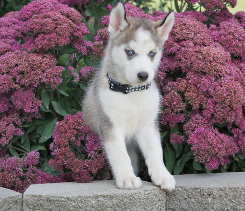 AKC Registered Siberian Husky For Sale Millersburg, OH Male- Theo