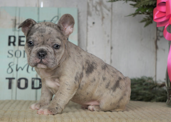 AKC Registered French Bulldog For Sale Millersburg, OH Female- Bella
