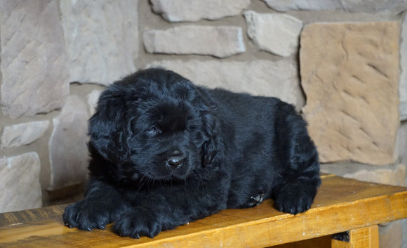 AKC Registered Newfoundland For Sale Dalton, OH Male Rambo