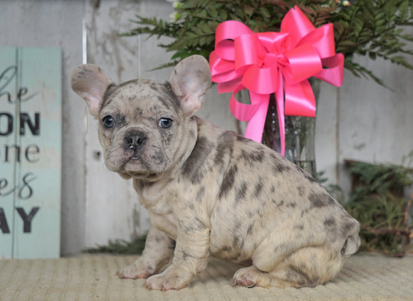 AKC Registered French Bulldog For Sale Millersburg, OH Female- Hope