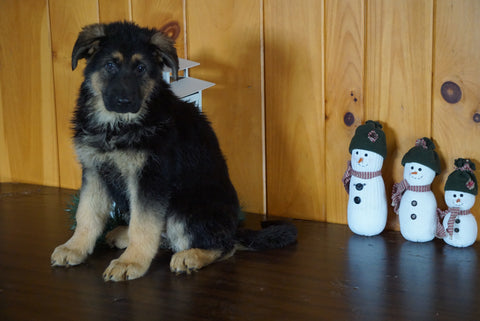 AKC Registered German Shepherd For Sale Millersburg, OH Female- Lexus