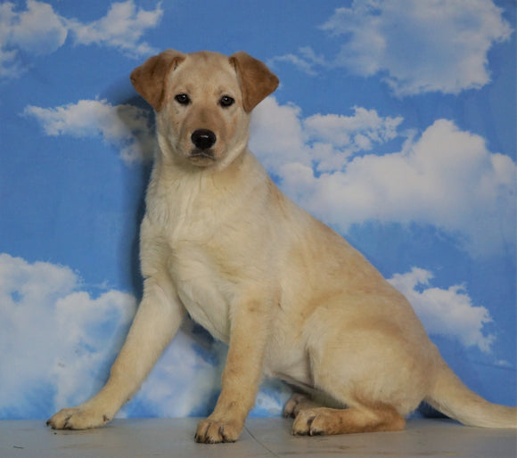 Labrador Retriever Mix For Sale Sugarcreek, OH Female- Ginger