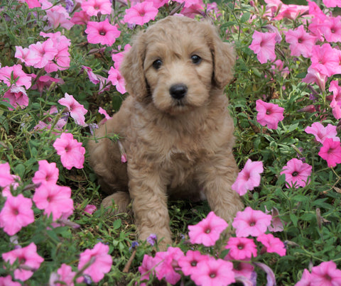 Medium F1B Goldendoodle For Sale Millersburg, OH Female- Katie